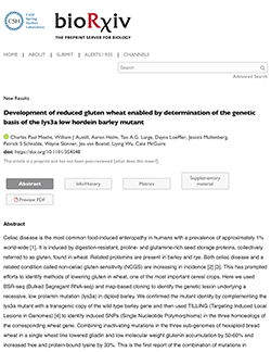 Development of reduced gluten wheat enabled by determination of the genetic basis of the lys3a low hordein barley mutant